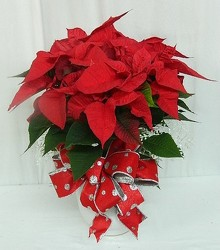 Polka Dot Dressed Poinsettia from local Myrtle Beach florist, Bright & Beautiful Flowers