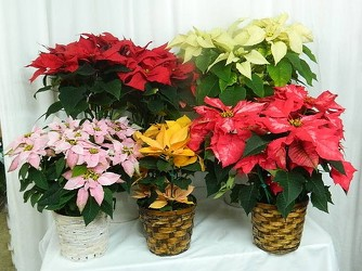 Poinsettia Extravaganza from local Myrtle Beach florist, Bright & Beautiful Flowers