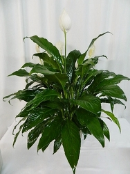Classic Peace Lily from local Myrtle Beach florist, Bright & Beautiful Flowers