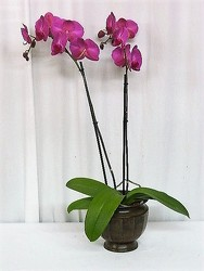 Regal Orchid from local Myrtle Beach florist, Bright & Beautiful Flowers